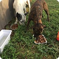 Adopt A Pet :: Snow/Brindle - Weatherford, TX