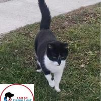 Domestic Shorthair/Domestic Shorthair Mix Cat for adoption in Belleville, Michigan - Madeline
