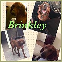 Adopt A Pet :: Brinkley - Clifton, TX