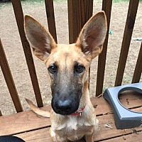 Adopt A Pet :: Chase - Raleigh, NC