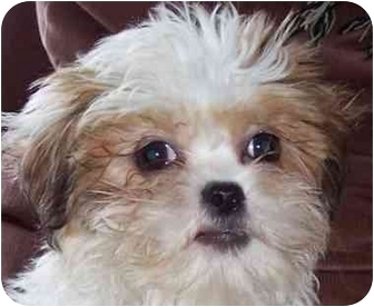 Shih Tzu/Lhasa Apso Mix Puppy for adoption in Eau Claire, Wisconsin - Bentley