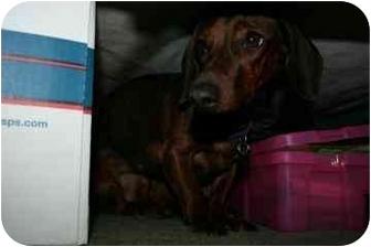 Dachshund Dog for adoption in tucson, Arizona - Gretchen