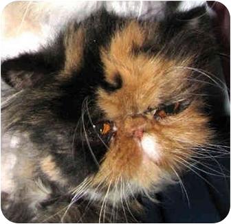 Persian Cat for adoption in Davis, California - Kali