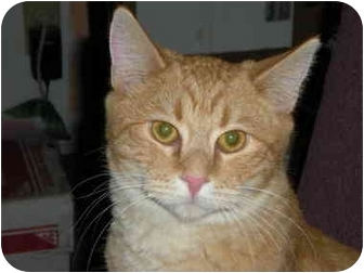 Domestic Shorthair Kitten for adoption in McIntosh, New Mexico - Cyranno