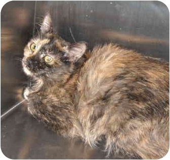 Manx Cat for adoption in North Highlands, California - Polina
