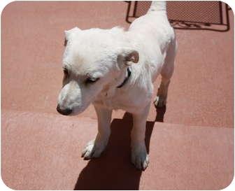 Labrador Retriever Mix Puppy for adoption in Evergreen, Colorado - Ocho