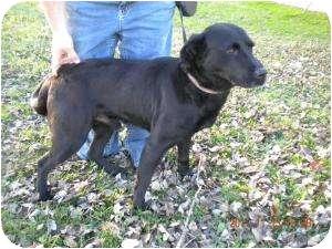 Labrador Retriever Dog for adoption in Paris, Illinois - Titan