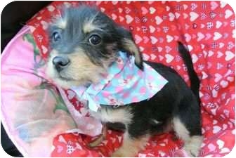 Westie, West Highland White Terrier/Terrier (Unknown Type, Small) Mix Puppy for adoption in Mission Viejo, California - JAELYN