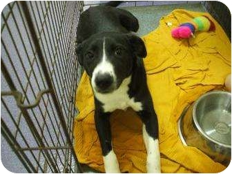 Border Collie Dog for adoption in Edwardsville, Illinois - Lucy