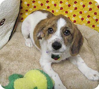 Basset Hound/Schnauzer (Miniature) Mix Puppy for adoption in Lexington, Kentucky - Yoko Ono