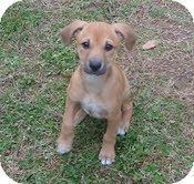 Shepherd (Unknown Type)/Boxer Mix Puppy for adoption in Hagerstown, Maryland - Rosey Roo