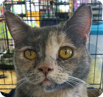 Domestic Shorthair Cat for adoption in Winchester, California - Trina