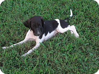 Pointer Mix Puppy for adoption in Williston, Vermont - Ritz Bits