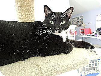 Domestic Shorthair Cat for adoption in House Springs, Missouri - Star