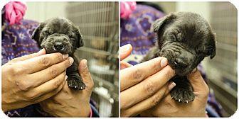 Labrador Retriever Mix Puppy for adoption in Cumming, Georgia - Bashful Puppy