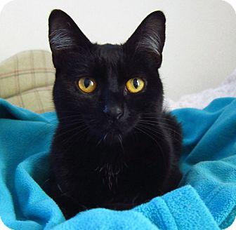 Domestic Shorthair Cat for adoption in Roseville, Minnesota - Ebony