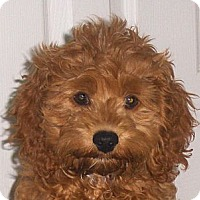 Adopt A Pet :: Amber - Jacksonville, FL