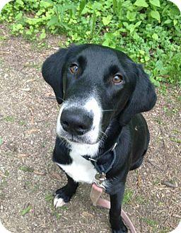 Hound (Unknown Type)/Labrador Retriever Mix Dog for adoption in Marseilles, Illinois - Plato