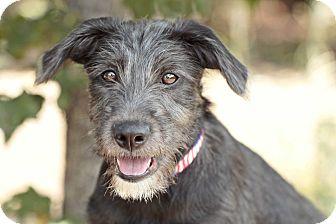 Scottish Deerhound Mix Puppy for adoption in Marietta, Georgia - Fred