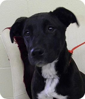 Labrador Retriever Mix Puppy for adoption in Tyner, North Carolina - Bella Louise