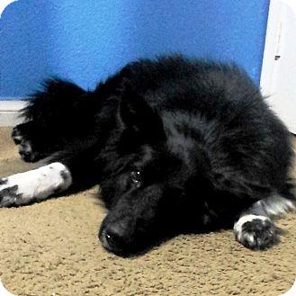 Border Collie Mix Dog for adoption in Las Vegas, Nevada - Marta