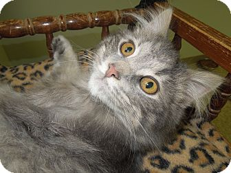 Domestic Mediumhair Cat for adoption in Medina, Ohio - Orrville