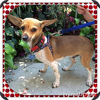 Rat Terrier/Chihuahua Mix Dog for adoption in Arcadia, California - Rudy