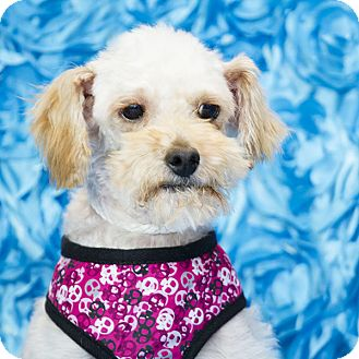 Poodle (Miniature)/Maltese Mix Dog for adoption in San Diego, California - Sandy