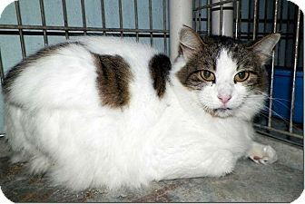 Domestic Mediumhair Cat for adoption in Sullivan, Missouri - Marble