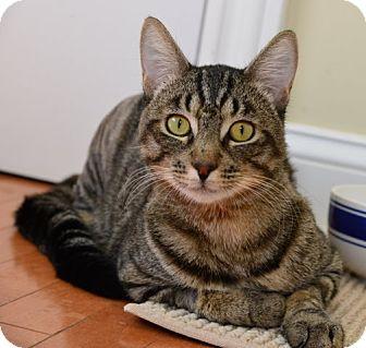 Domestic Shorthair Cat for adoption in Davis, California - Bobby