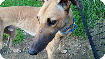 Greyhound Dog for adoption in Swanzey, New Hampshire - Kaz