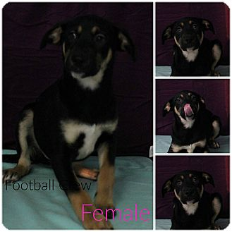 Hound (Unknown Type) Mix Puppy for adoption in Pittsburgh, Pennsylvania - Football Crew