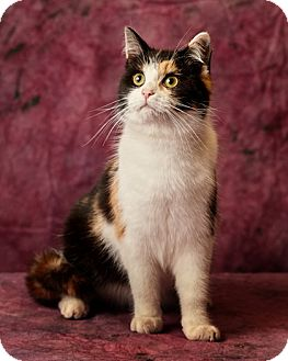 Calico Cat for adoption in Harrisonburg, Virginia - Totally Pawesome
