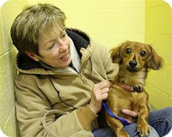 Dachshund Dog for adoption in Elyria, Ohio - Duchess