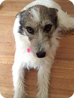 Terrier (Unknown Type, Small)/Terrier (Unknown Type, Medium) Mix Dog for adoption in West Warwick, Rhode Island - WILLY In Rhode Island