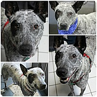 Adopt A Pet :: Lizzy - Forked River, NJ