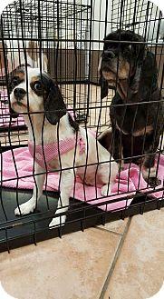 King Charles Spaniel Mix Dog for adoption in Mesa, Arizona - Elizabeth
