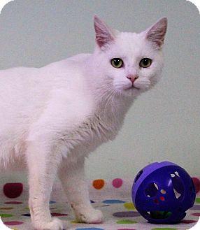 Domestic Shorthair Cat for adoption in Murphysboro, Illinois - Chekhov