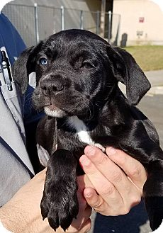 Boxer/American Bulldog Mix Puppy for adoption in Gainesville, Florida - Salmon