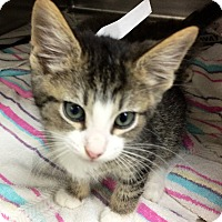 Domestic Shorthair Kitten for adoption in Riverside, California - Bailey