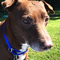 Hound (Unknown Type) Dog for adoption in Suquamish, Washington - Coco