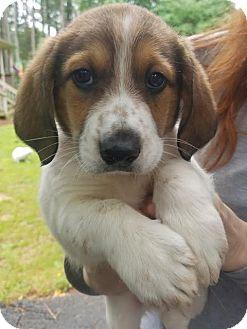 Basset Hound/Plott Hound Mix Puppy for adoption in Alexandria, Virginia - Ben