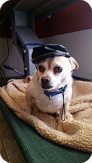 Chihuahua Mix Dog for adoption in Apache Junction, Arizona - Chuey