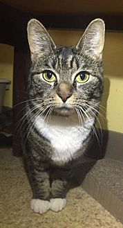 Domestic Shorthair Cat for adoption in Blasdell, New York - Catrina