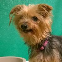 Adopt A Pet :: Bridgett - Terre Haute, IN