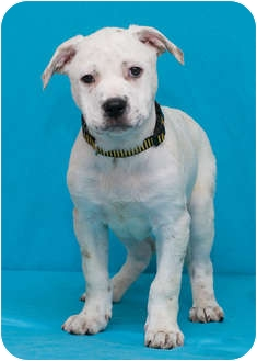 American Bulldog/Boxer Mix Puppy for adoption in Westminster, Colorado - AUSTIN