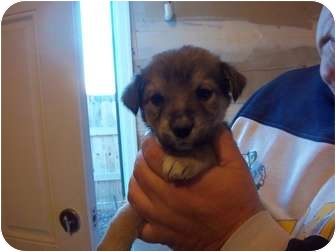 Husky Mix Puppy for adoption in Westminster, Colorado - Cejay