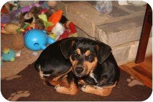 Miniature Pinscher/Chihuahua Mix Dog for adoption in Remlap, Alabama - Emma