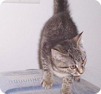 American Shorthair Cat for adoption in Mt. Vernon, Illinois - Sis