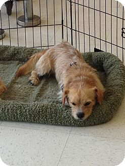 Cairn Terrier/Dachshund Mix Dog for adoption in Brea, California - Max